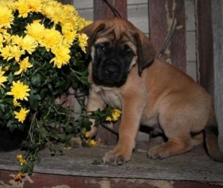 Indigo - Mastiff Puppy for Sale