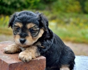 Chloe - York-Chon Puppy for Sale