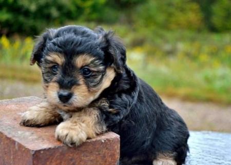 Chloe - York-Chon Puppy for Sale