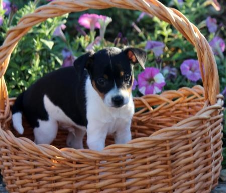 Fuddles - Toy Fox Terrier Puppy for Sale