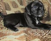 Jasmine - Puggle Puppy for Sale