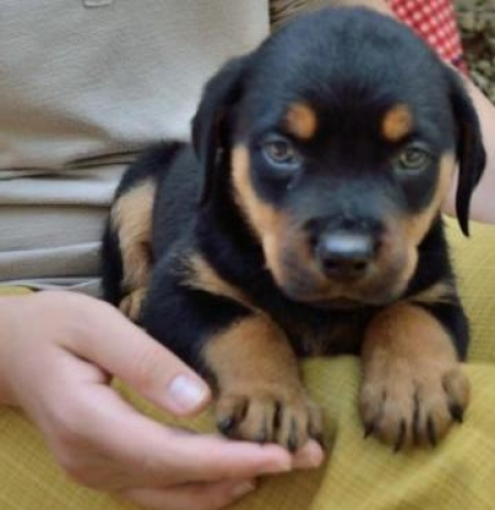 Nelon - Rottweiler Puppy for Sale