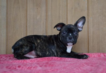 Garth - French Bulldog Puppy for Sale