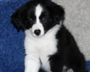 Sophie - Border Collie Puppy for Sale