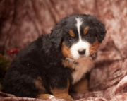 Angie - Bernese Mountain Dog Puppy for Sale