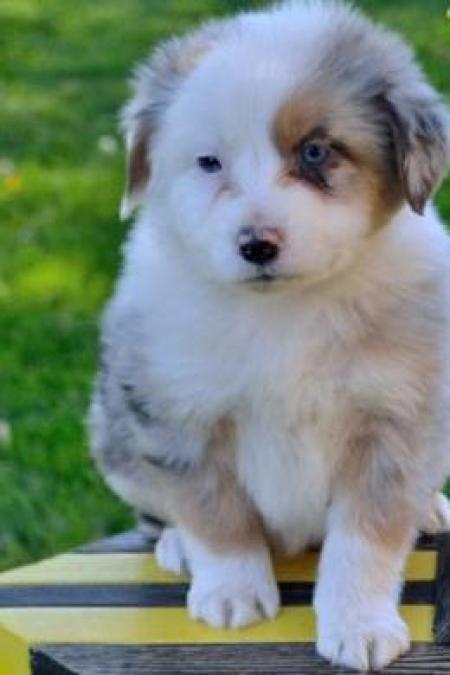 Bobby - Australian Shepherd Puppy for Sale
