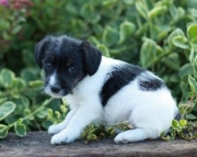 Bandit - Jack-a-poo Puppy for Sale