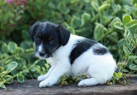 Bandit - Jack-a-poo Puppy for Sale