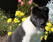Sophie - Akita Puppy for Sale