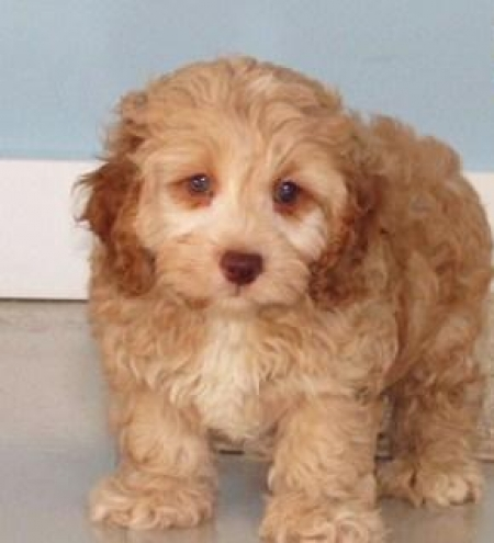 Manny - Cockapoo Puppy for Sale