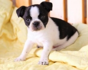 Little Johnny - Bug Puppy for Sale