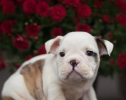 Winston - English Bulldog Puppy for Sale
