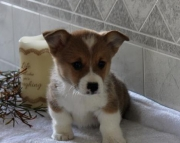 Danny - Welsh Corgi (Pembroke) Puppy for Sale