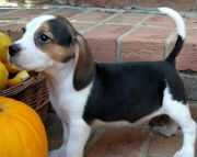 Snickers - Beagle Puppy for Sale