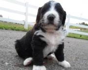 Griffin - Bernadoodle (Bernese/Poodle) Puppy for Sale