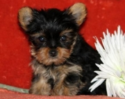 Lulu - Yorkshire Terrier Puppy for Sale