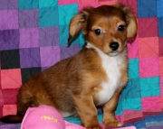 Heidi - ChiWeenie Puppy for Sale