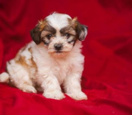 Beverly - Shichon Puppy for Sale