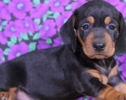 Divya - Dachshund Puppy for Sale