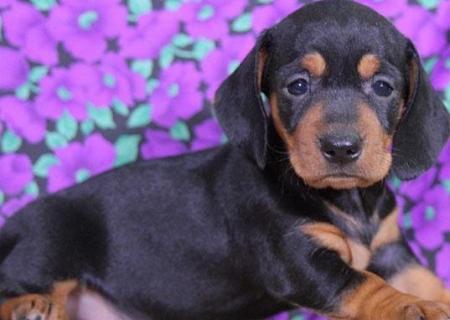 Divya Dachshund Puppy For Sale Handmade Michigan