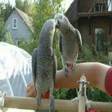 African Grey Parrots - Ready
