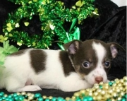 CHIHUAHUA puppies for sale - ready