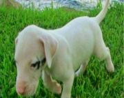 gorgeous litter of Great Dane for sale
