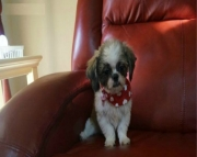 Shih Tzu puppies for sale - ready