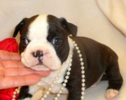 Boston Terrier puppies for sale - ready