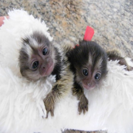 Marmoset Monkeys for Sale - Ready