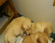 litter of Golden Retriever puppies for sale - ready