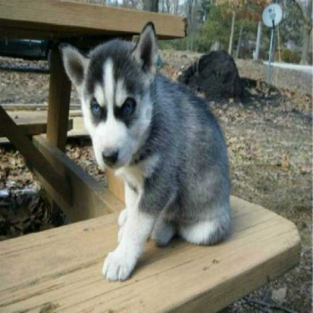Siberian Husky Puppies for Sale  Ready