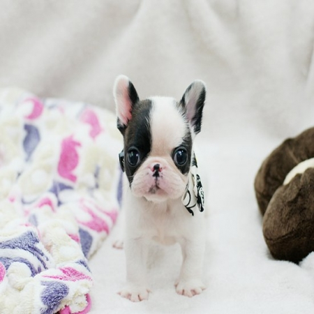 Litter of French Bulldog Puppies for Sale - Ready