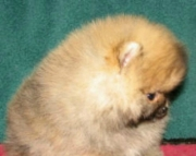 litter of Pomeranian puppies for sale - ready