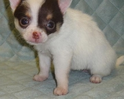 dgsh Chihuahua Puppies For Sale