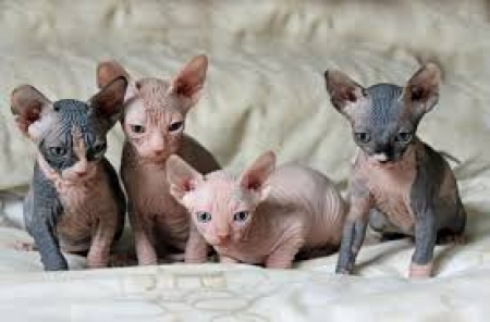 Dgag Sphynx Kittens Available for Sale