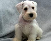 xsf Schnauzer for sale