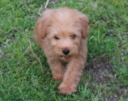 dadf Schnoodle for sale