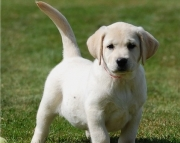 sdag Labrador puppies for sale
