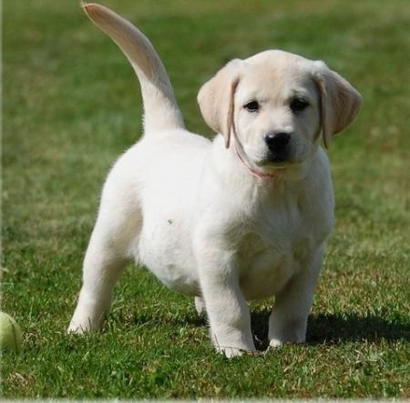 Sdag Labrador Puppies for Sale