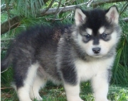dgsa Alaskan Malamute  puppies for sale