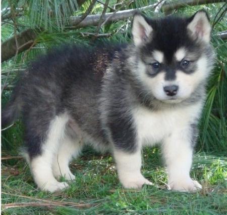 Dgsa Alaskan Malamute  Puppies for Sale