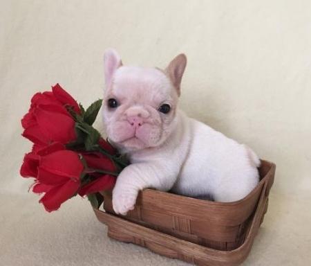 Dasd French Bulldog Puppies For Sale7
