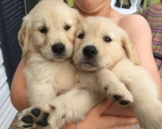 agd Golden Retriever Puppies For Sale