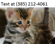 sdad Bengal-kitten  for sale