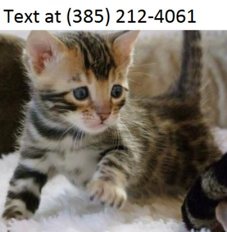 Sdad Bengal-kitten  for Sale