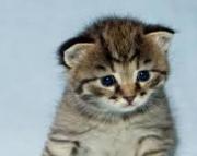 dgsa Munchkin kittens for sale