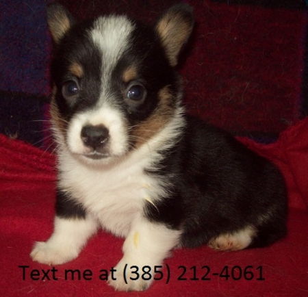 Sade Pembroke Welsh Corgi Puppies For Sale