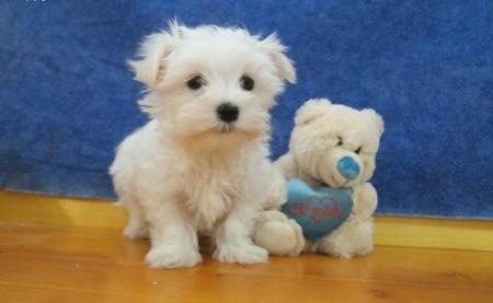 Gsga Maltese Puppies For Sale