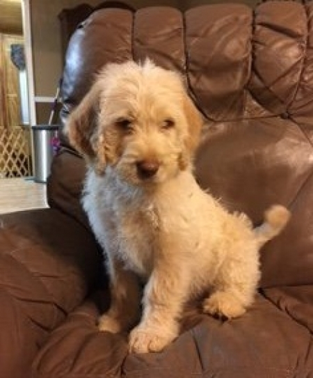 Asdt Labradoodle Puppies for Sale